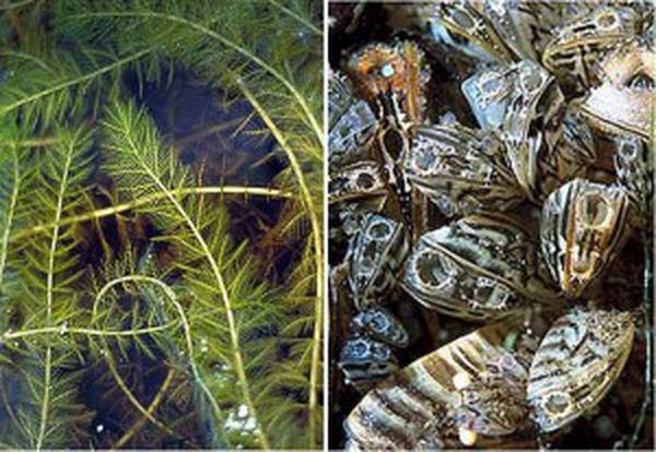 20090717_eurasian_water_milfoil_zebra_mussels_33-300x207.jpg